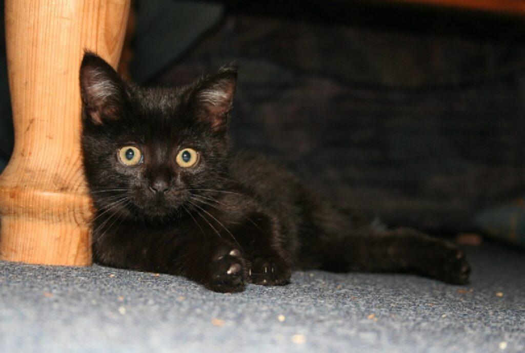 gatto nero piccolo occhi gialli