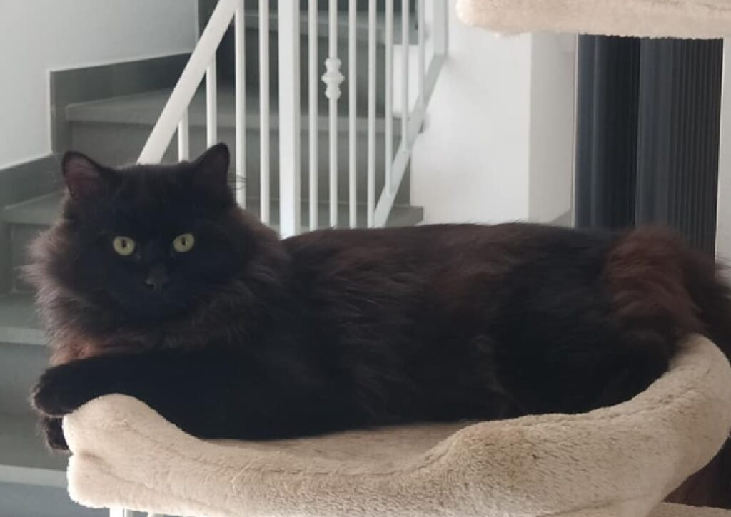 gatto nero pelo medio lungo