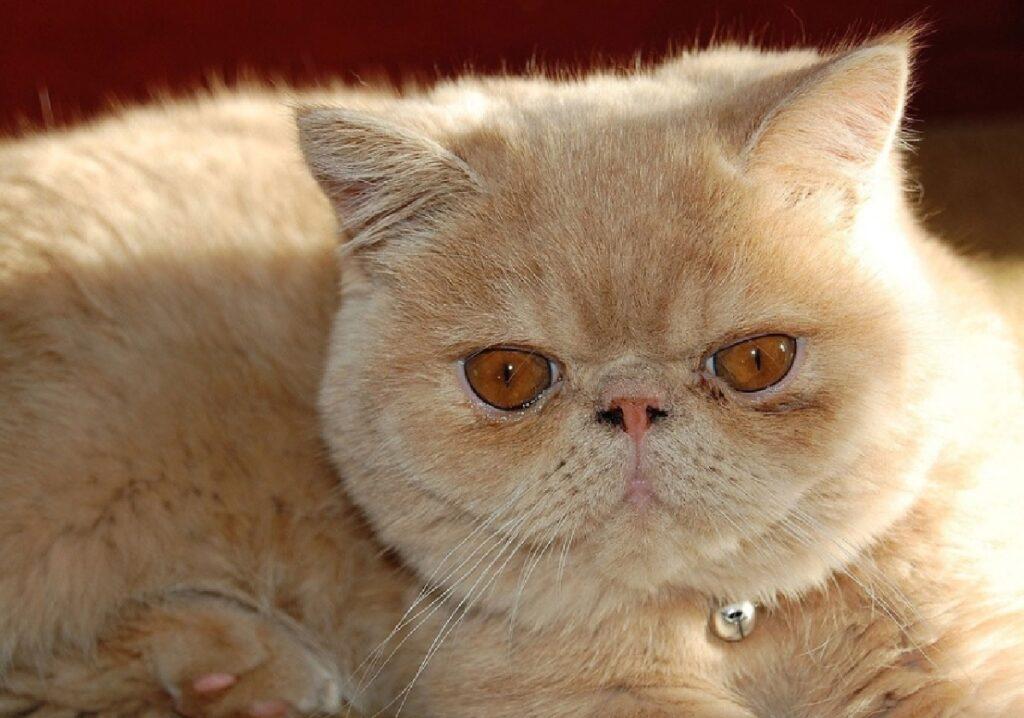 gatta persiana pelo rosso occhi stesso colore