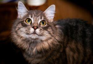 gatta persiana smarrita da giorni