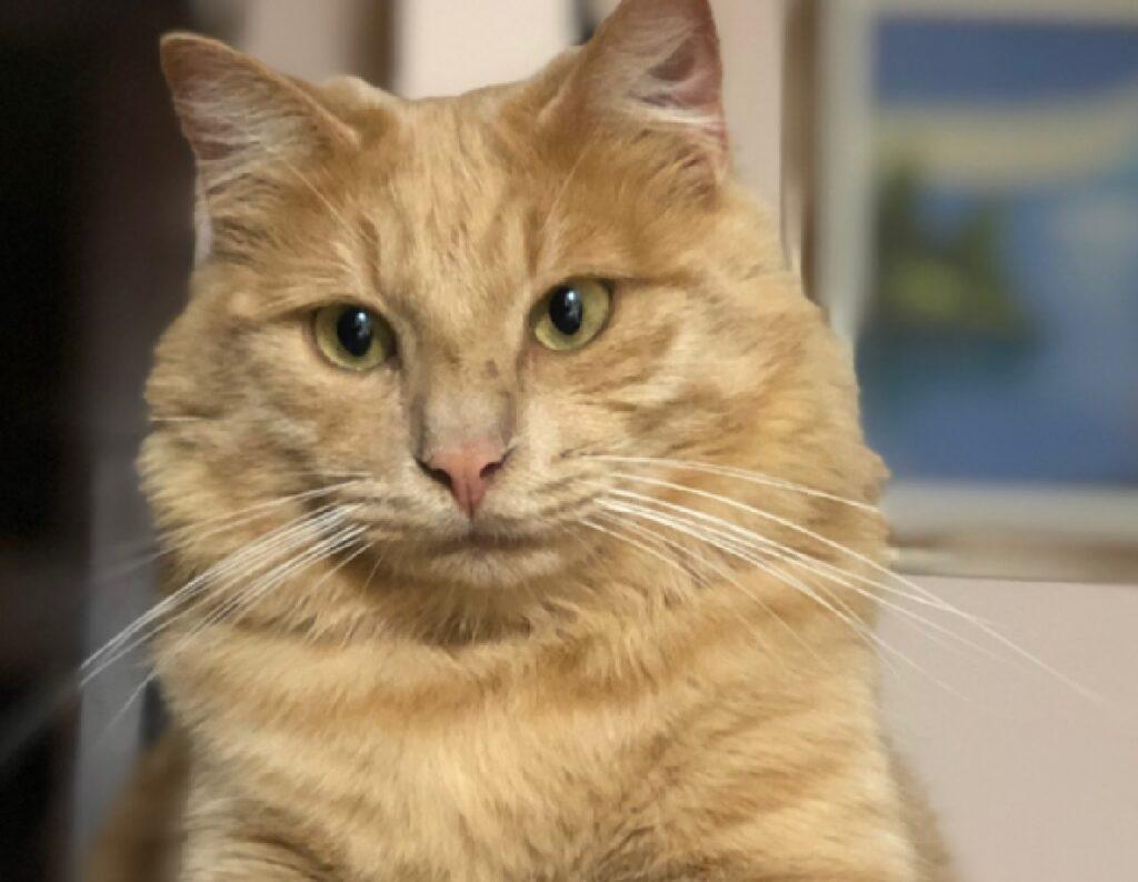 gatto rosso primo piano viso