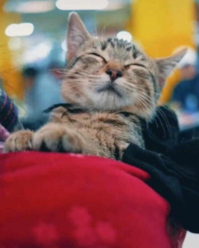 gattino grigio che dorme