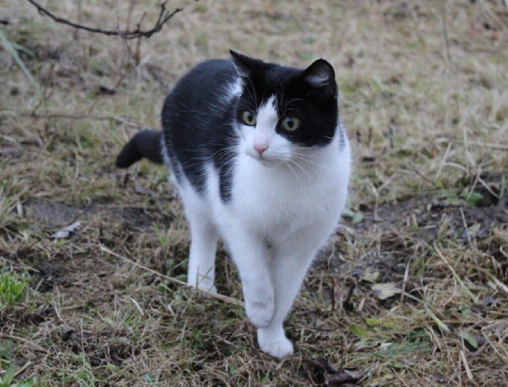 gatto cammina su terra boschiva
