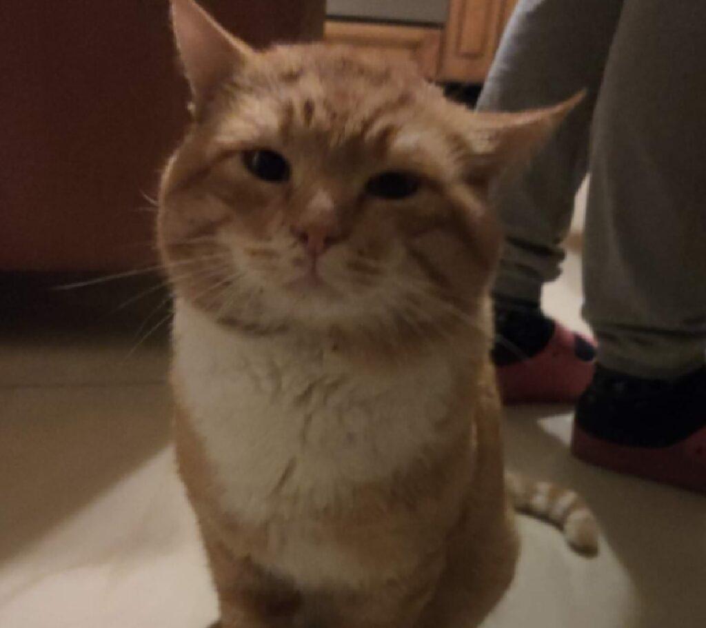 gatto tricio macchia bianca sotto collo