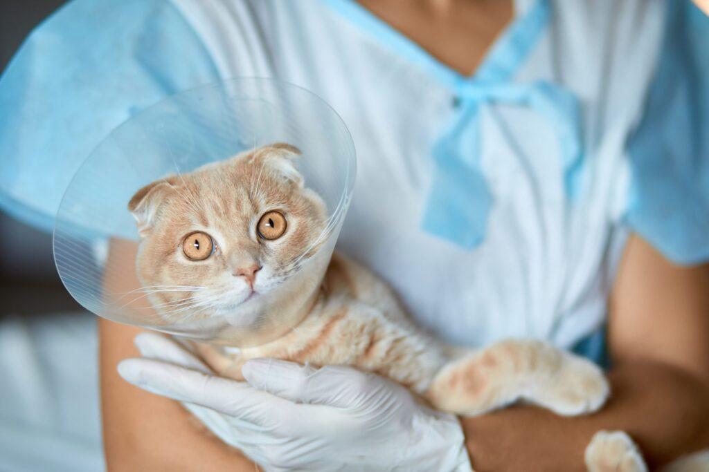 gatto che si riprende da un'operazione