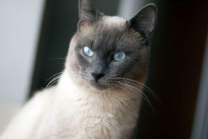 felino occhi azzurri