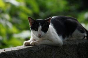 felino bianco nero