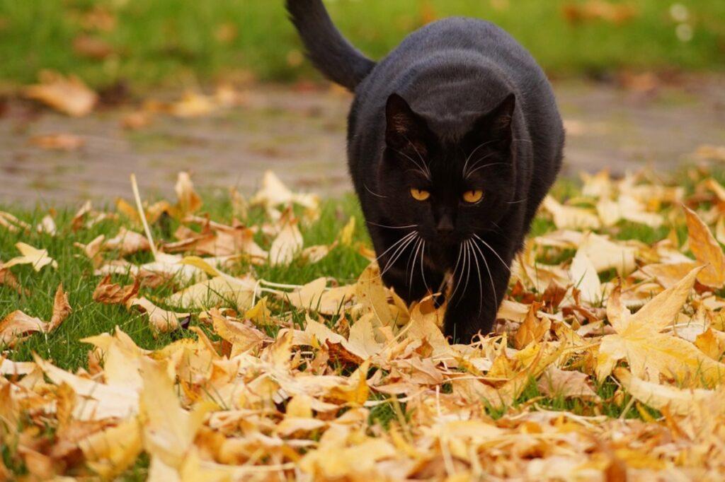 gatto nero foglie