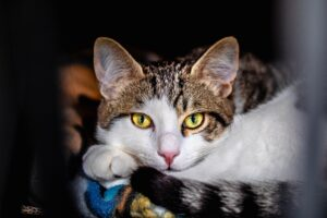 gatto stupendo occhi
