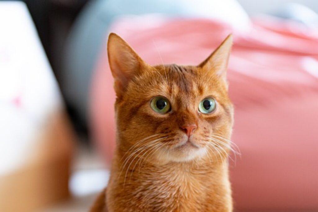 gatto arancione dolce
