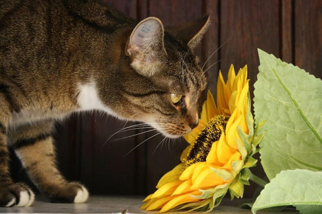 felino fiore girasole