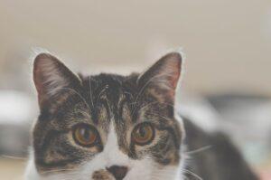 micio occhi guarda