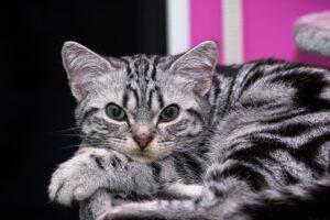 felino tigrato dolce