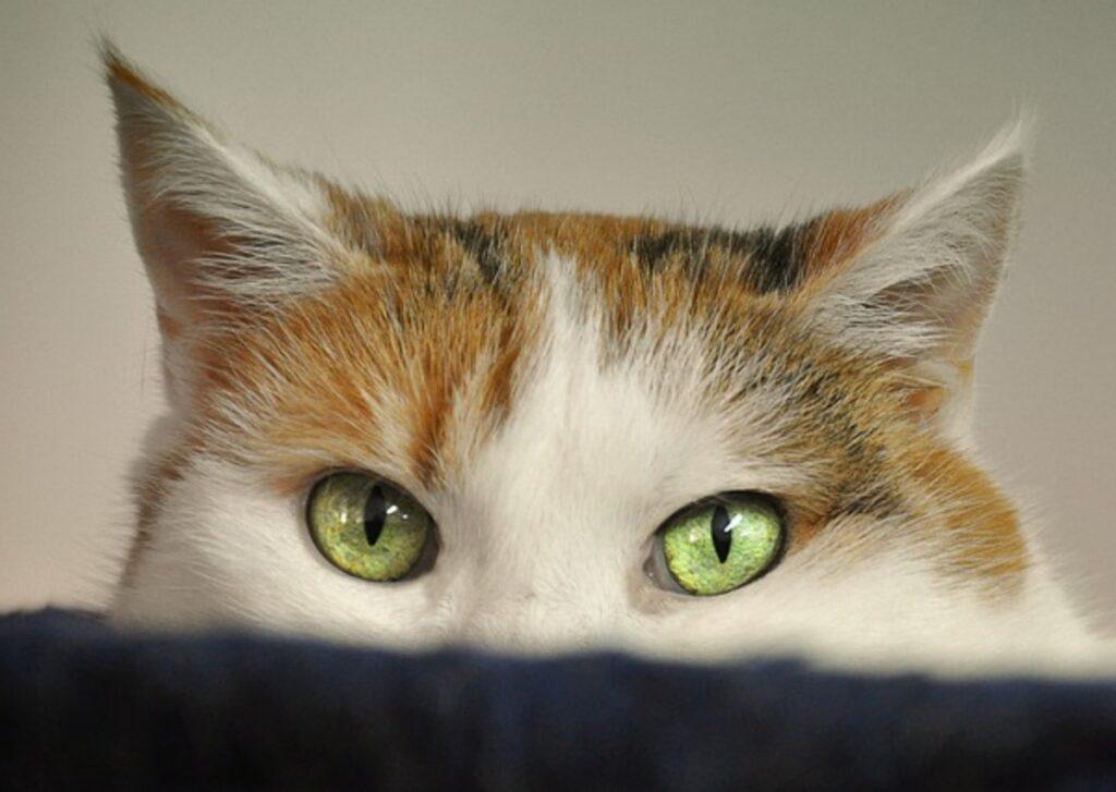gatto sguardo incuriosito