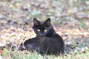 micio nero seduto