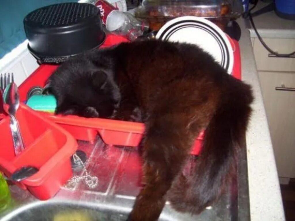 gatto dorme lavello