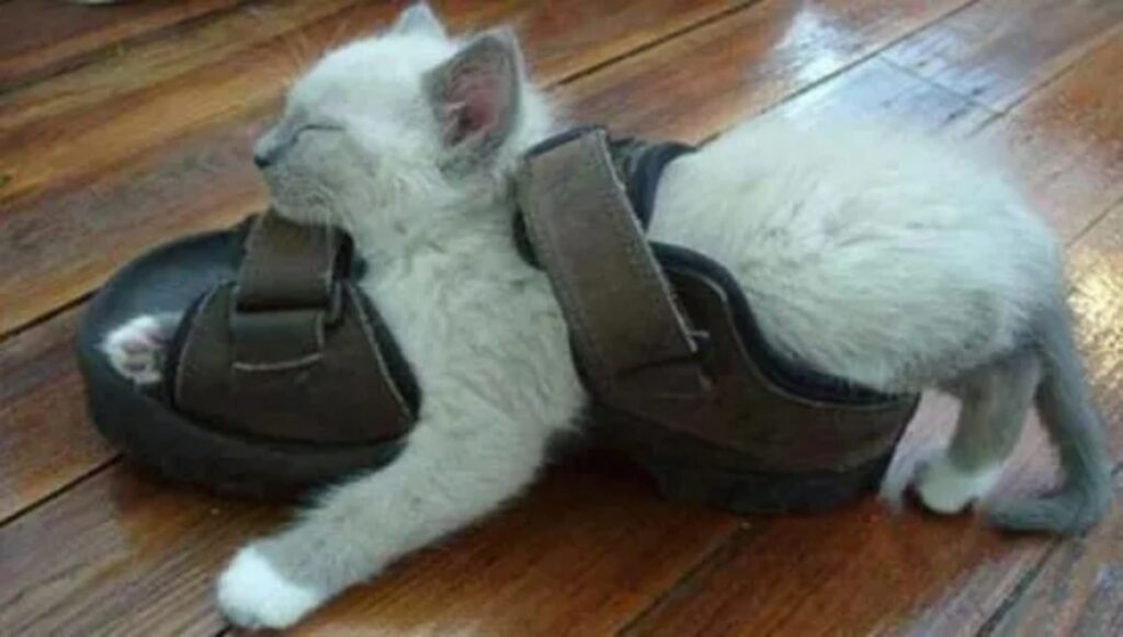 gatto dentro sandalo