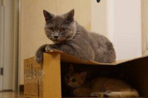 felino grigio dolce