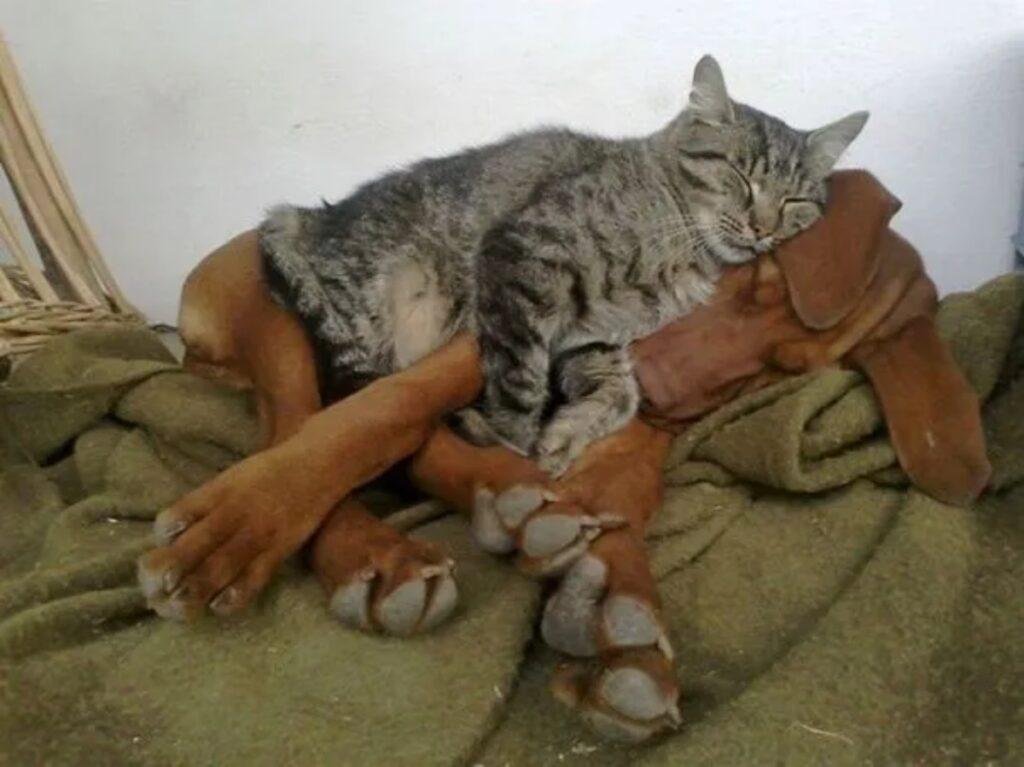 gatto tigrato buffo