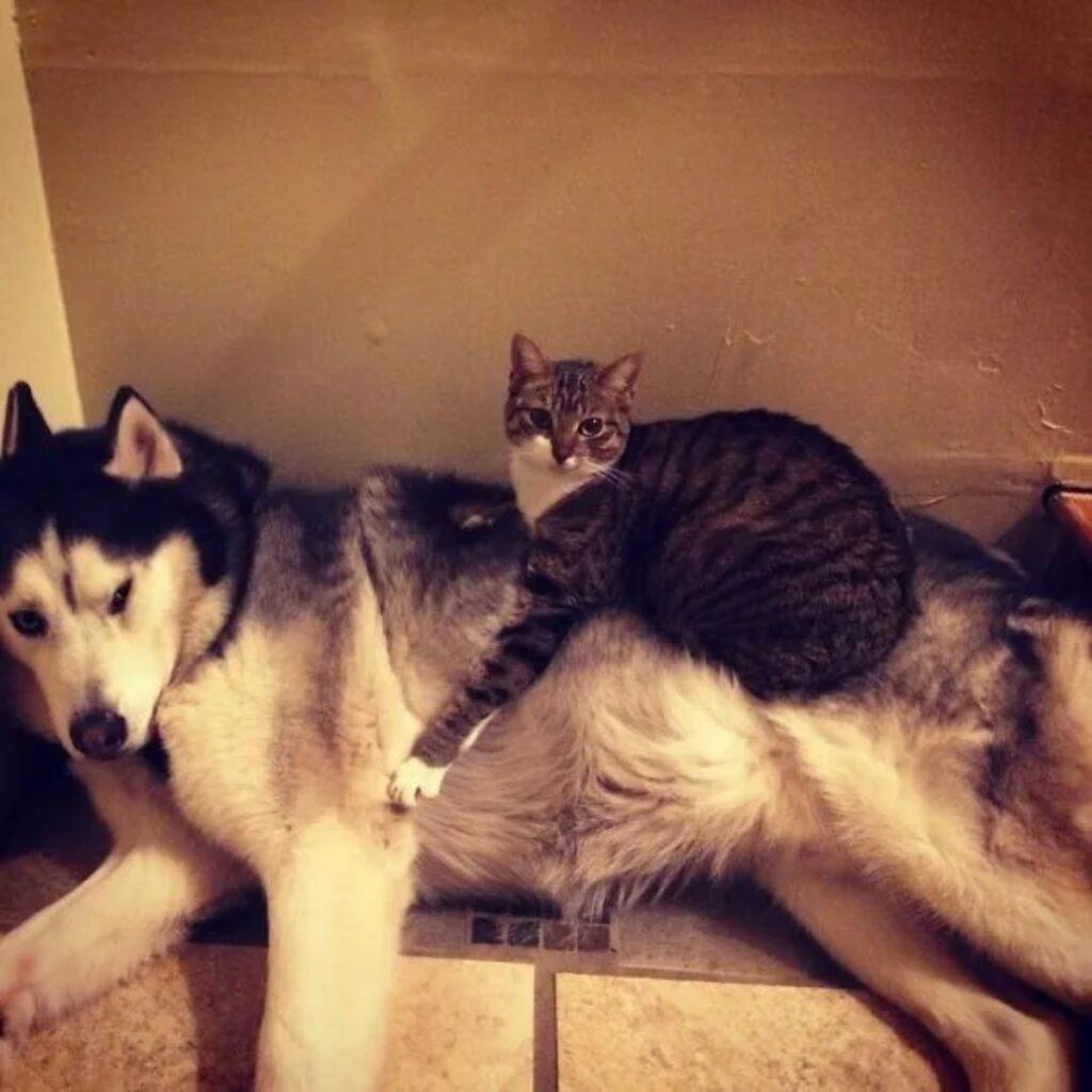 gatto e husky