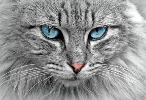 micio occhi ghiaccio