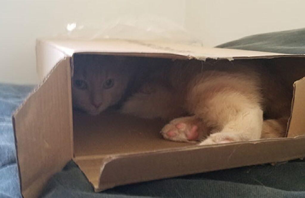 gatto rosso oliver scatola