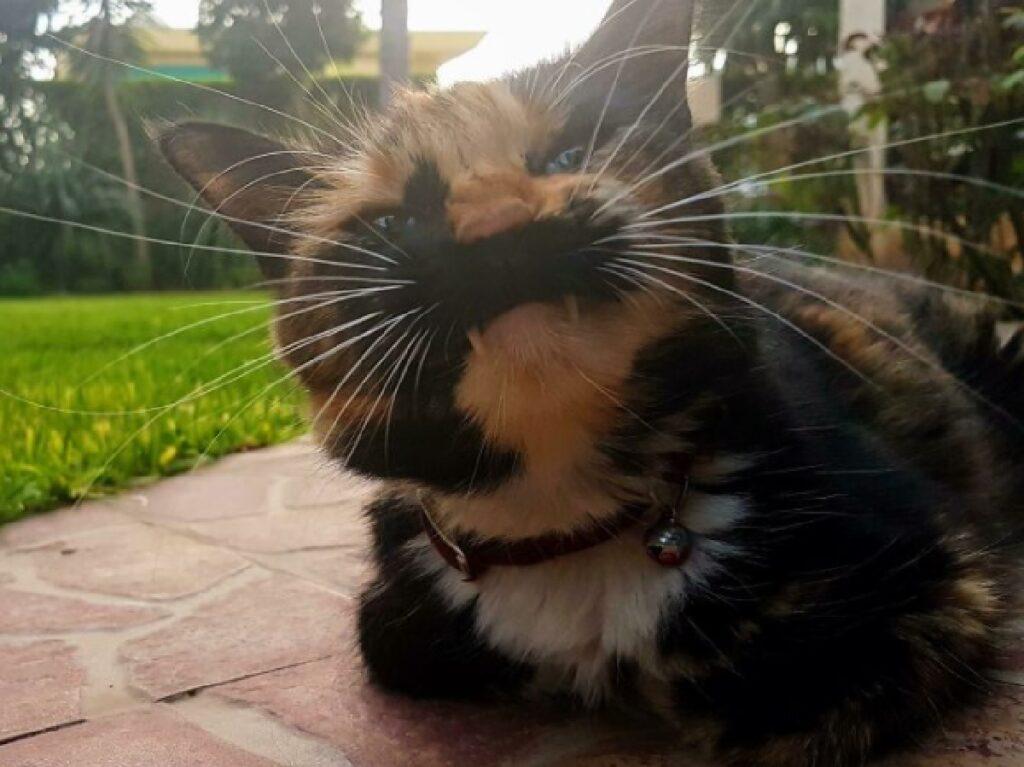 gatto rosso e nero collare