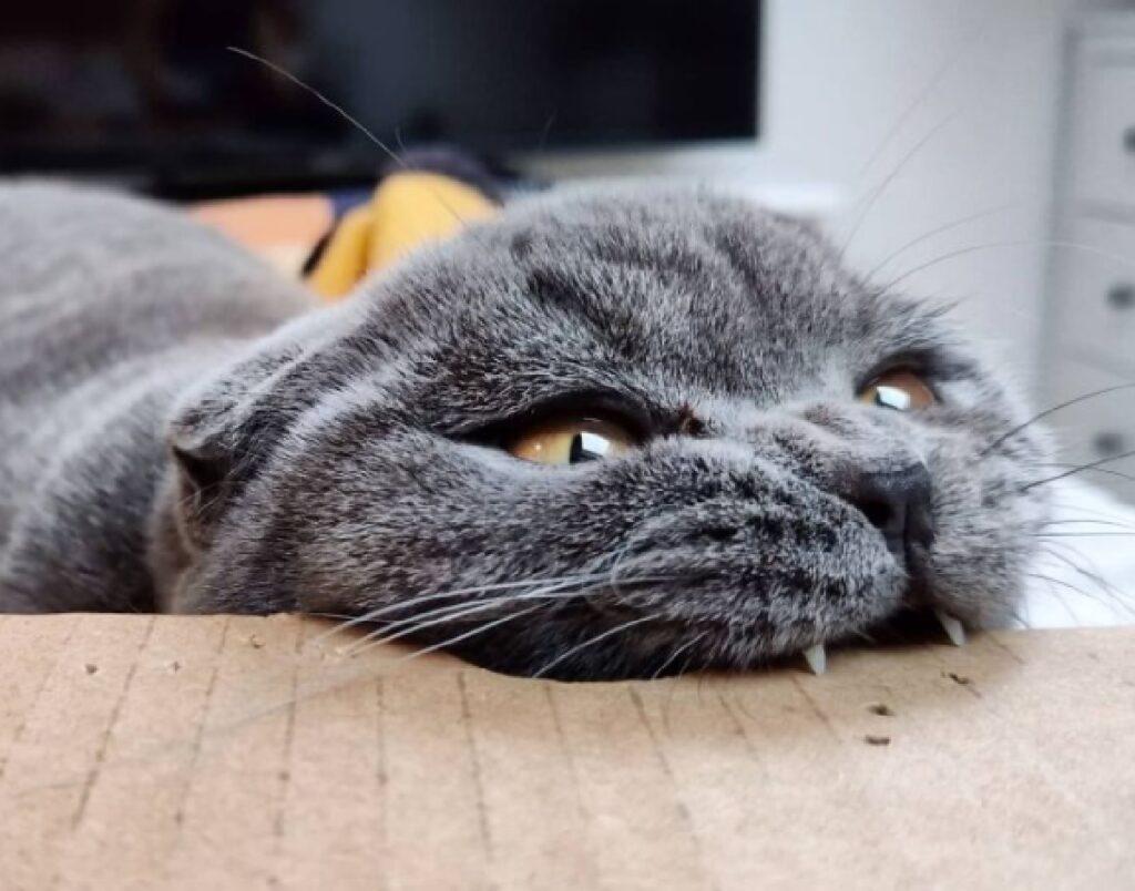 gatto morde una scatola