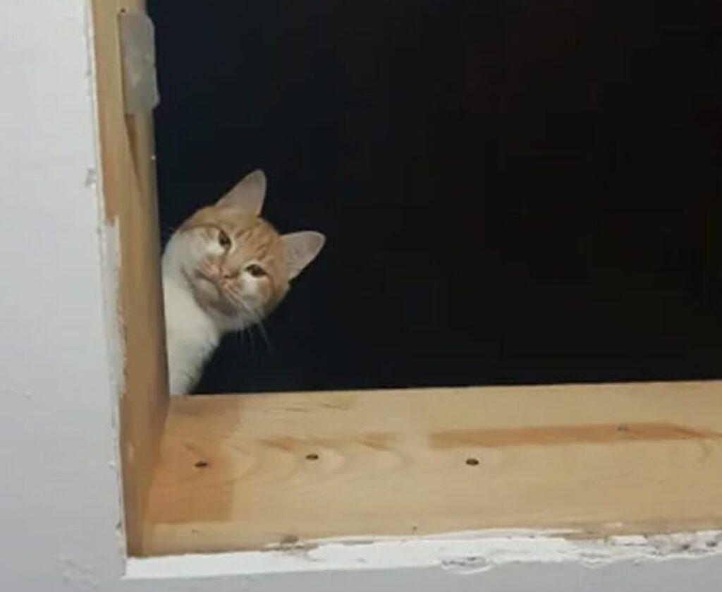 gatto rosso e bianco si affaccia