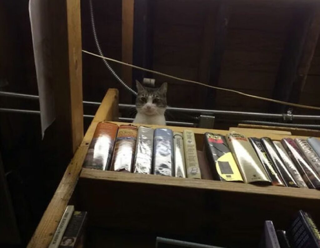 gatto europeo sopra libri