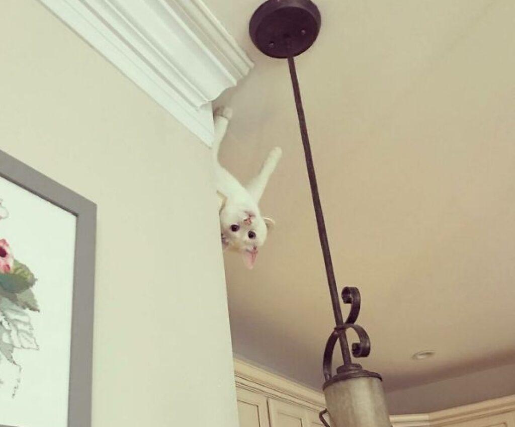 gatto bianco cammina sul soffitto