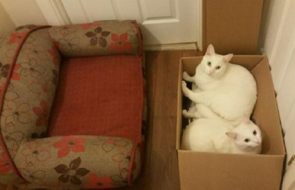 gatti bianchi riposano in una scatola