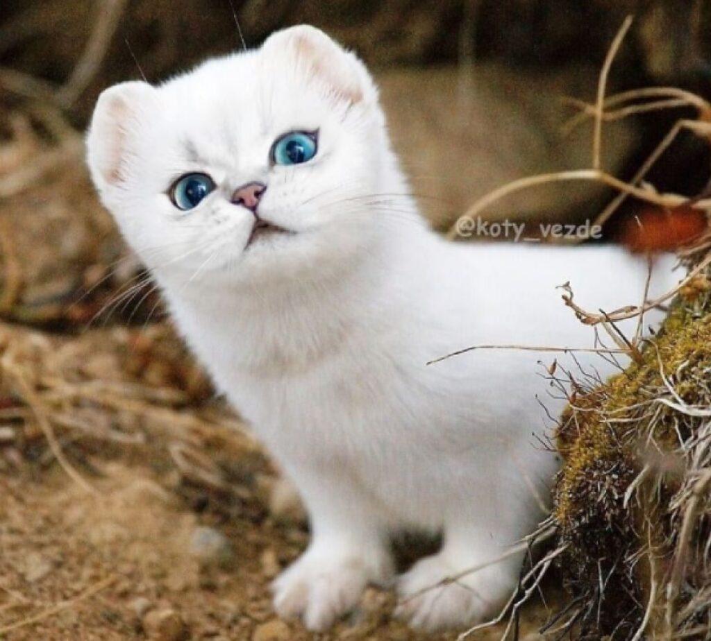 gatto donnola bianca