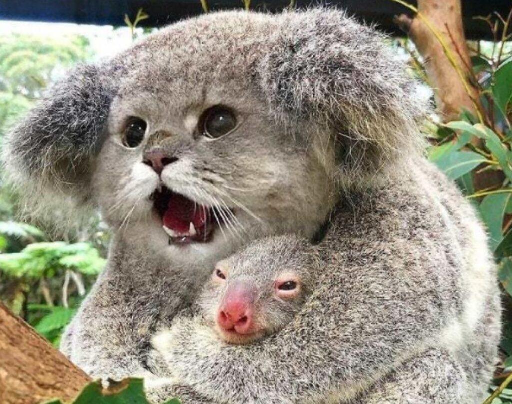 koala faccia da gatto