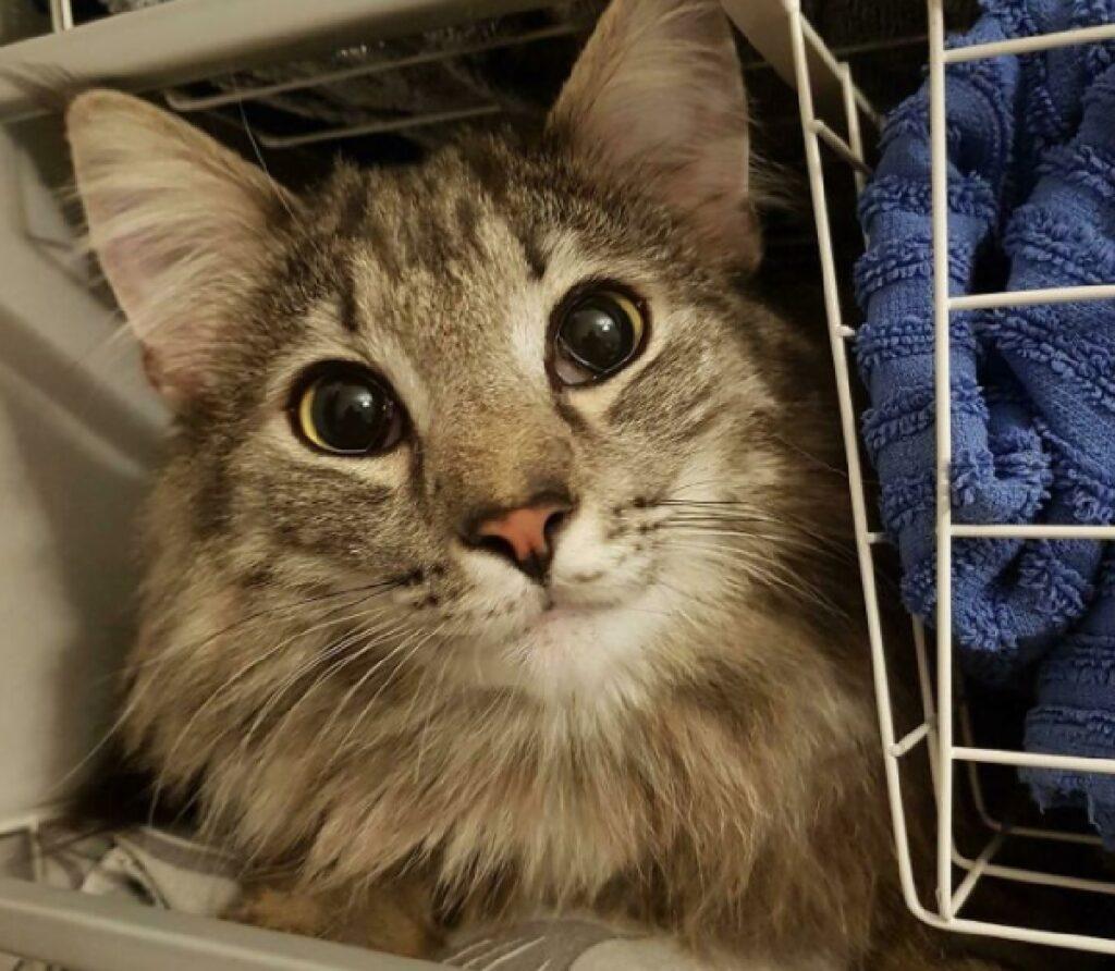 gatto pelo lungo in lavanderia
