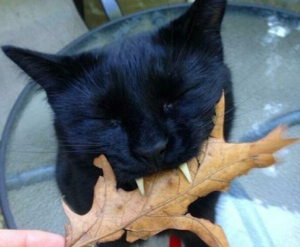 gatto nero morde una foglia
