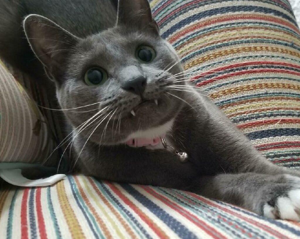 gatto grigio certosino collare