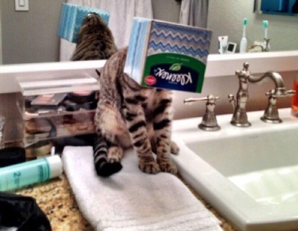 gatto infila testa dentro cartone