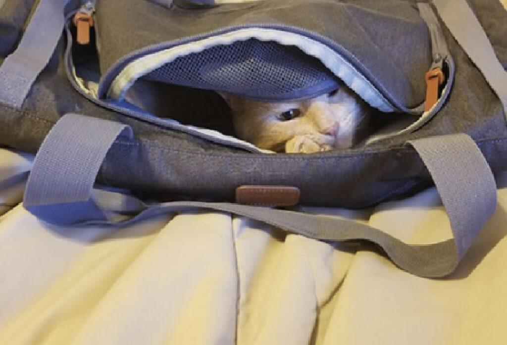 gatto rosso oliver dentro zaino