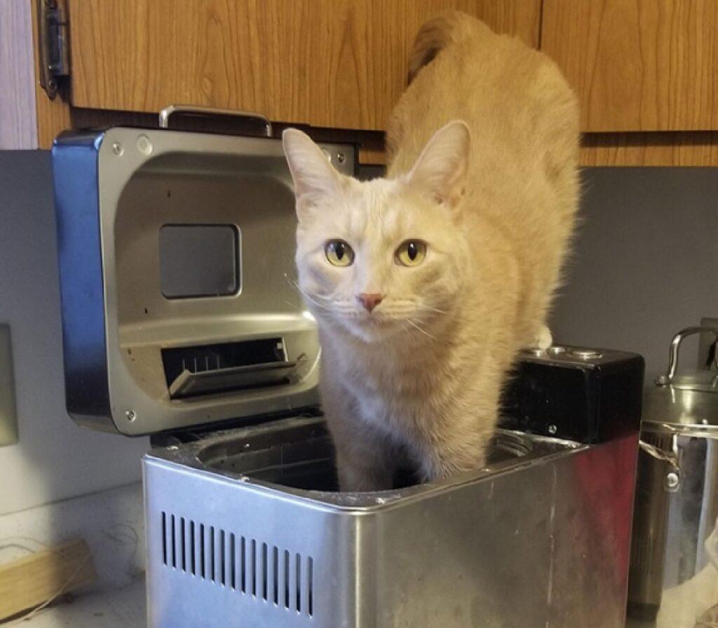 gatto con zampe nel tostapane