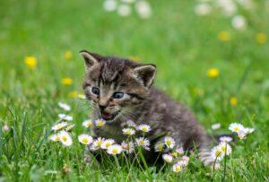 gattino grigio sul prato