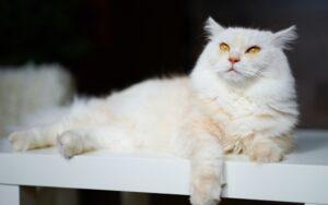 gattino coricato bianco