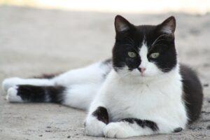 gatto bianco e nero sdraiato