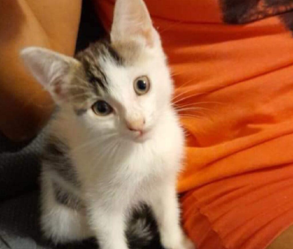coco gatto grandi orecchie punta