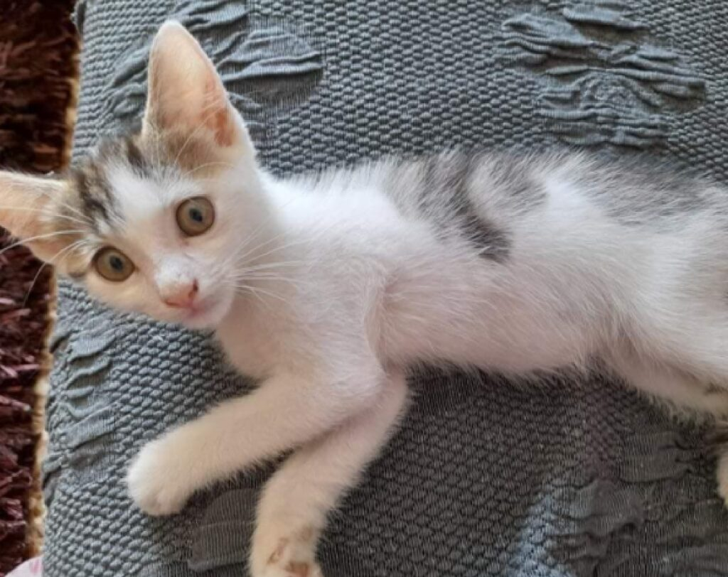 gattino coco disteso lenzuolo grigio