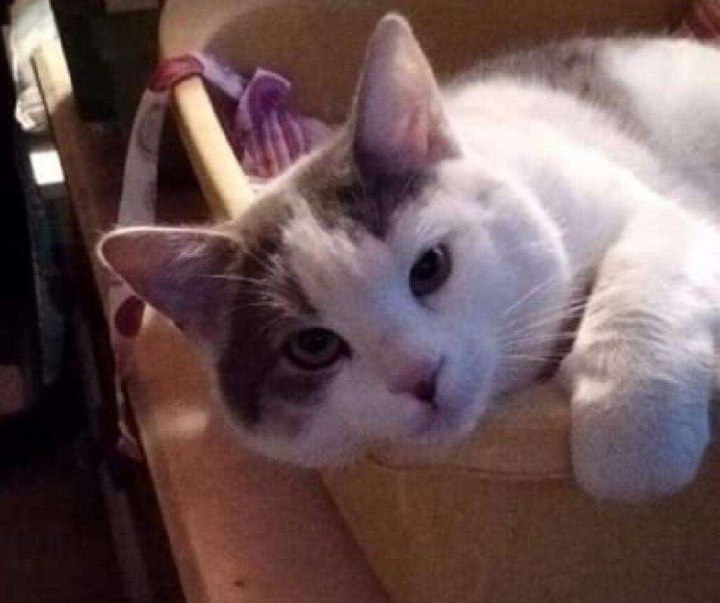gatto disteso mostra solo faccia