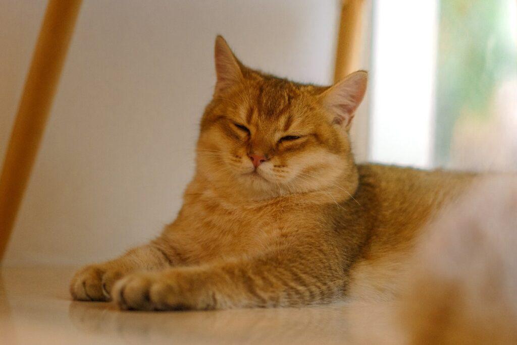 gatto che deve dimagrire