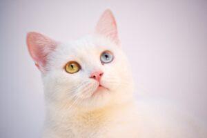gatto bianco con occhi di colore diverso