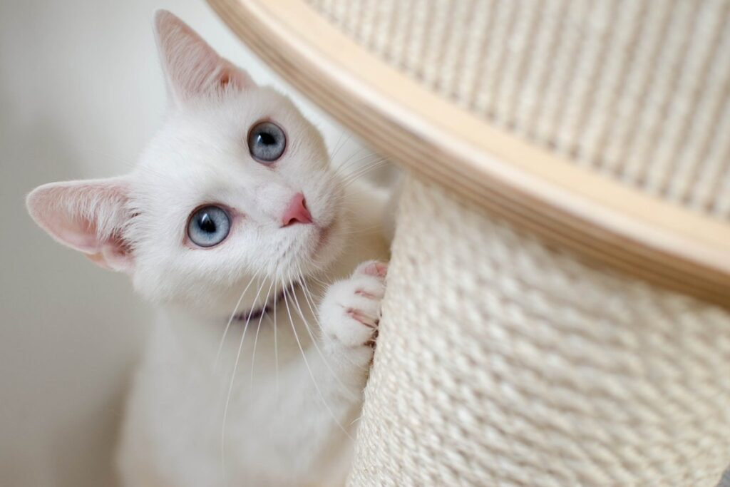 gatto bianco e tiragraffi