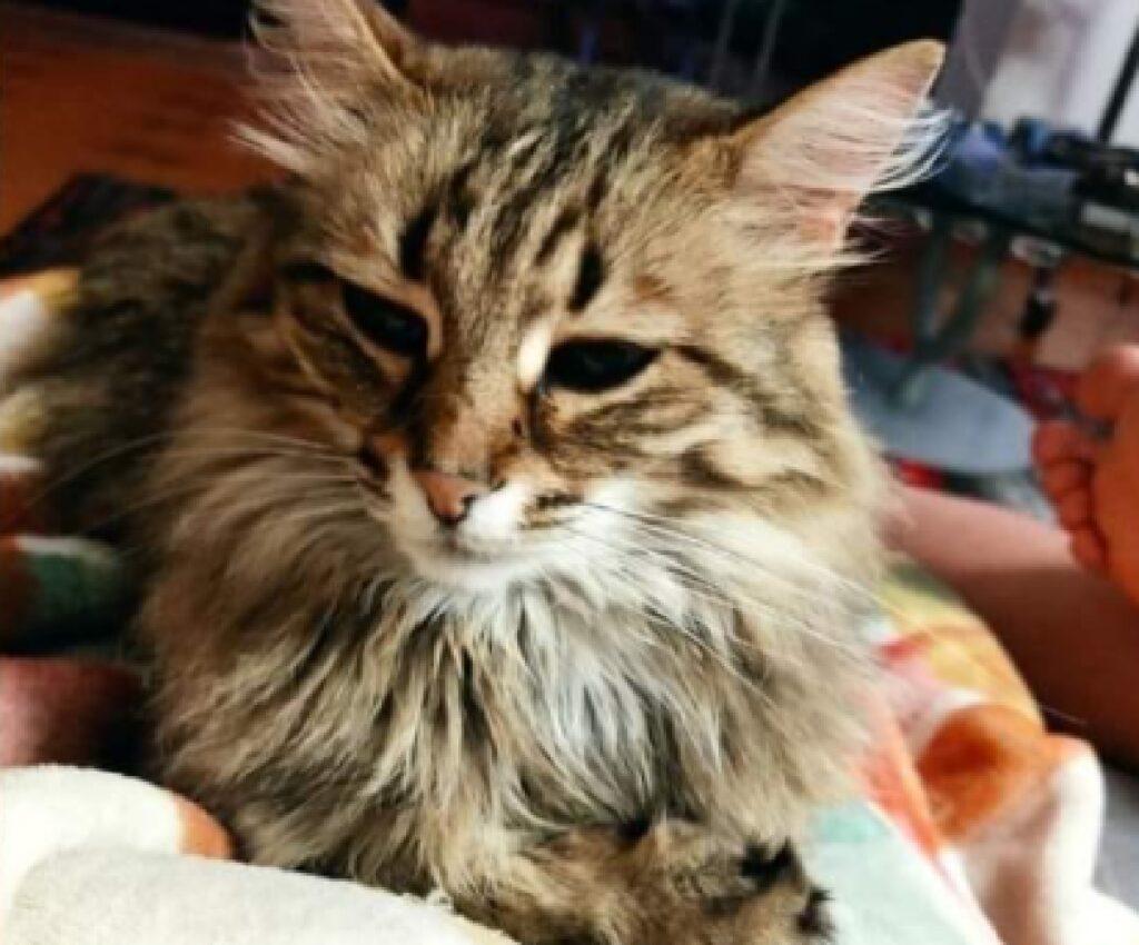 gatta lisa pelo lungo sul collo